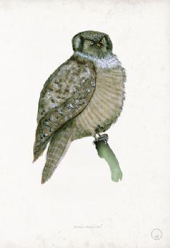 Northern Hawk Owl - artist signed print